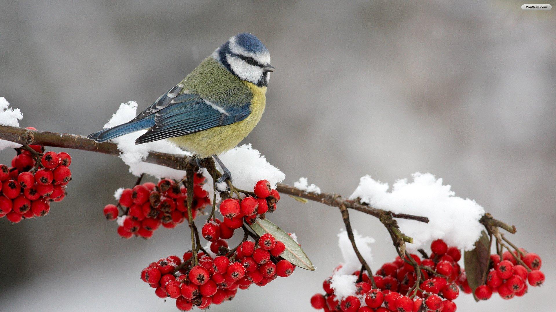 Widescreen winter bird wallpaper wallpapersafari - Winter cardinal wallpaper ...