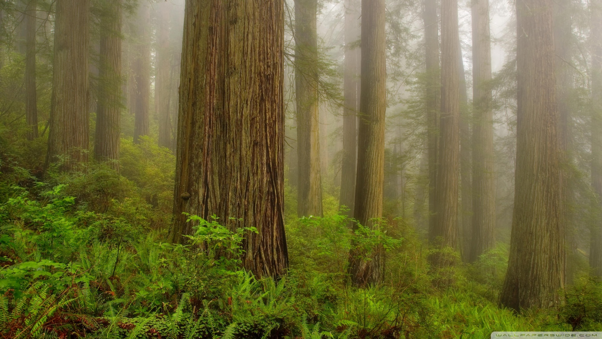 Redwoods Backgrounds And Wallpapers Wallpapersafari