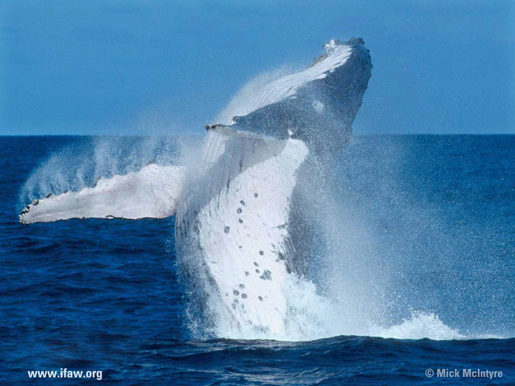 free download blue whale facts pictures hd wallpaper Car Tuning 1024x768