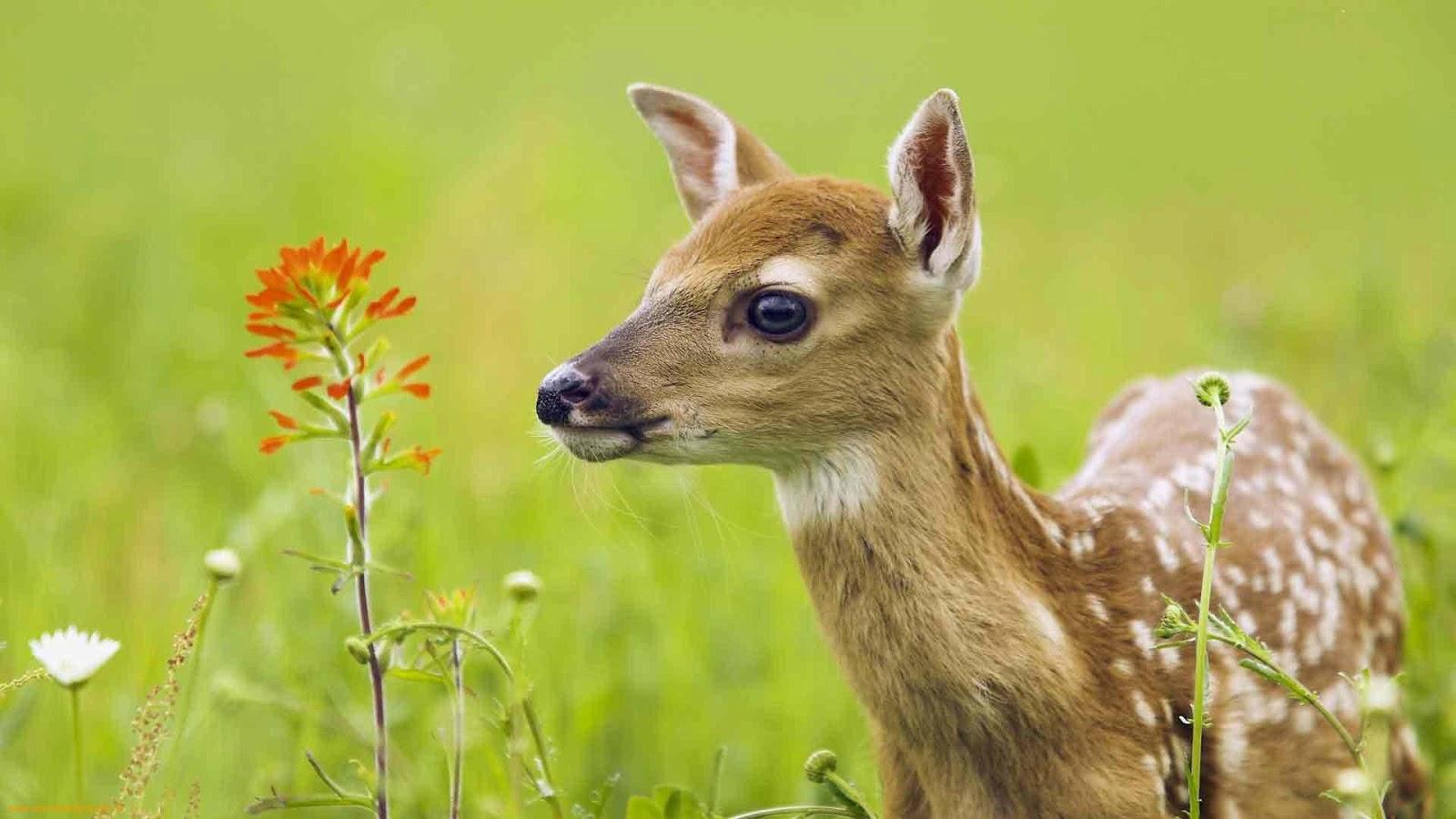 for deer hd deer wallpapers full hd wallpaper animal hd wallpaper deer 1600x900