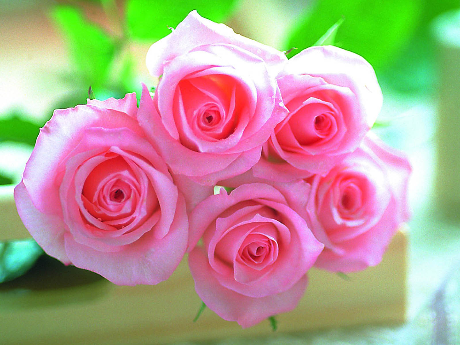 Tag Pink Rose Wallpapers Backgrounds Photos Pictures and Images 1600x1200