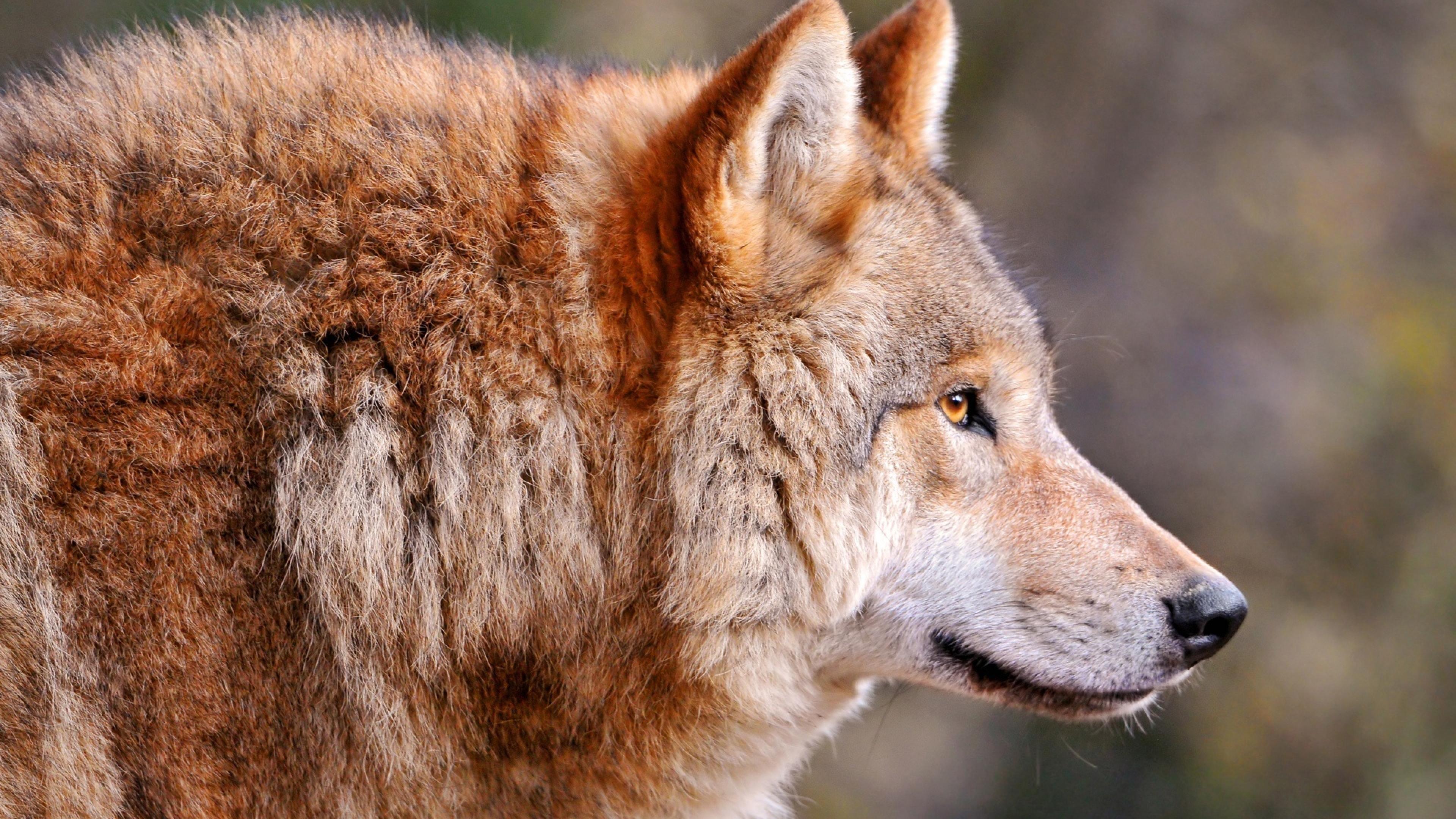 Download Wallpaper 3840x2160 wolf predator muzzle profile view 4K 3840x2160