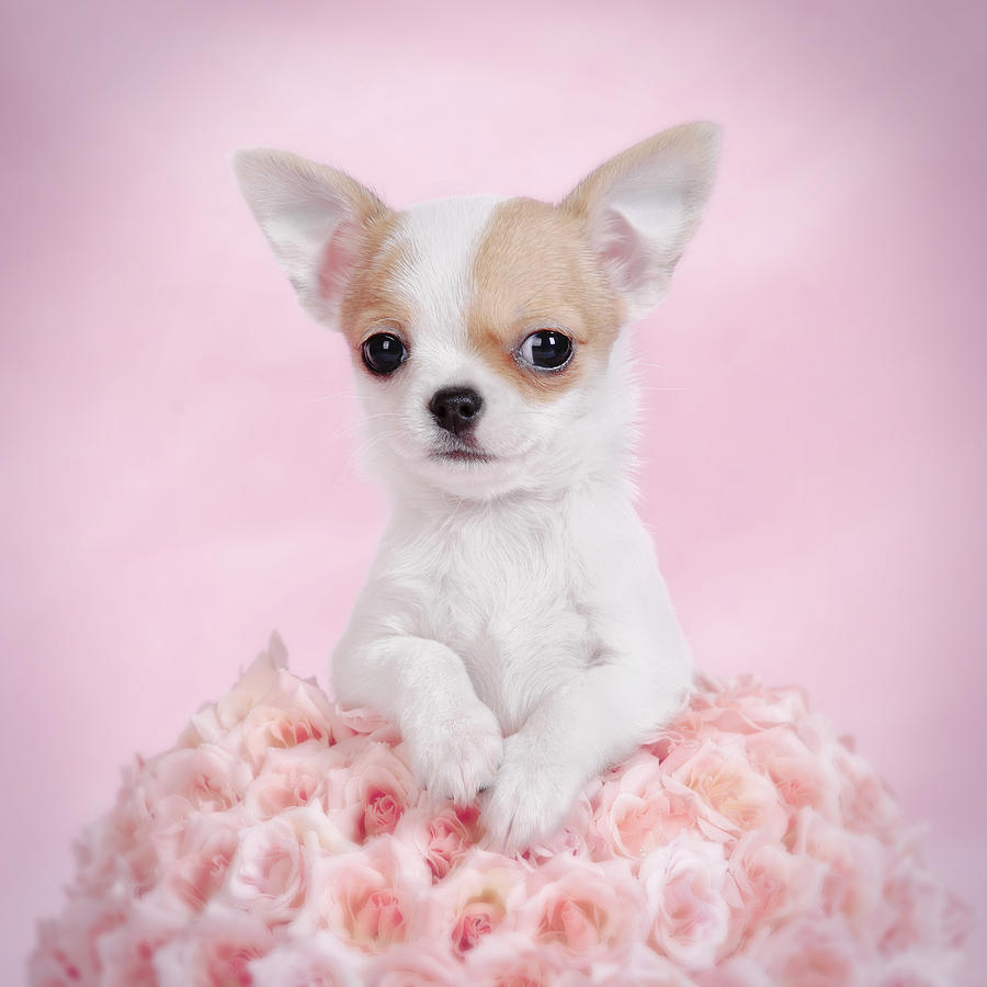 Chihuahua Puppy Wallpapers