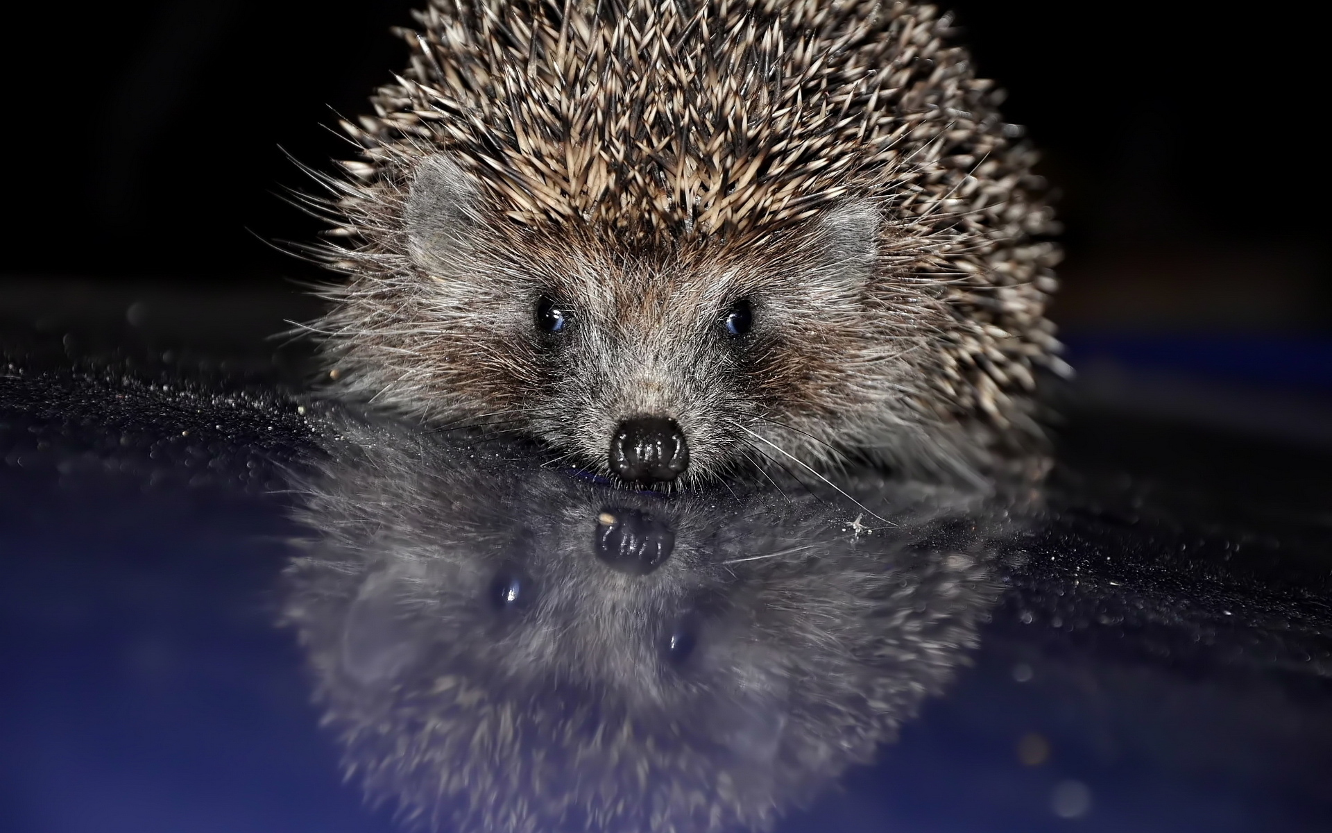 hedgehog wallpaper for computer wallpapersafari
