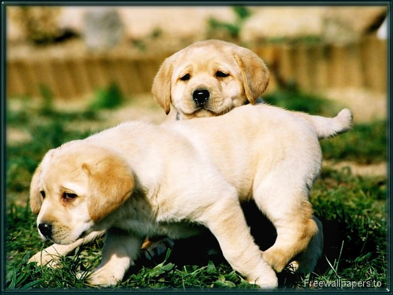 Yellow Lab Puppy Wallpaper 1 800x600
