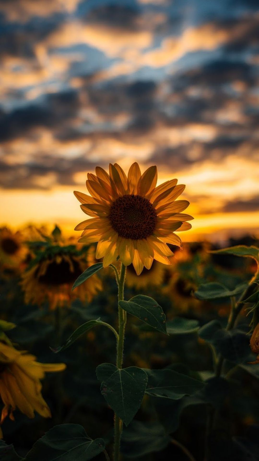 Aesthetic Hd Iphone Wallpapers Flowers in 2020 Sunflower iphone 1080x1919