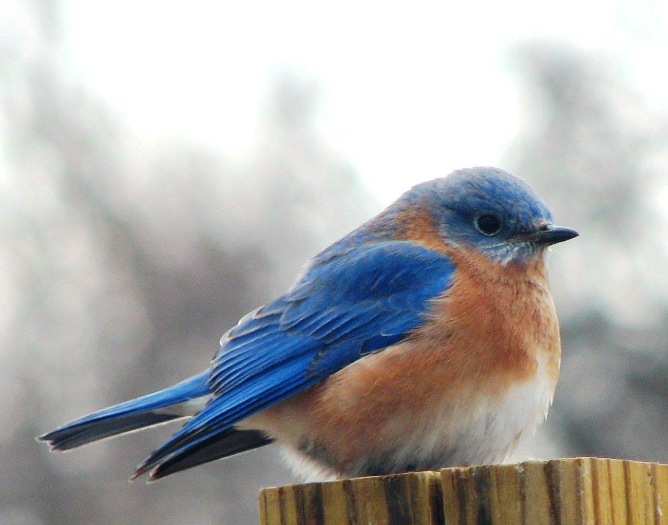 Big blue bird pictures for dekstop background Wallpaper 1301x1023