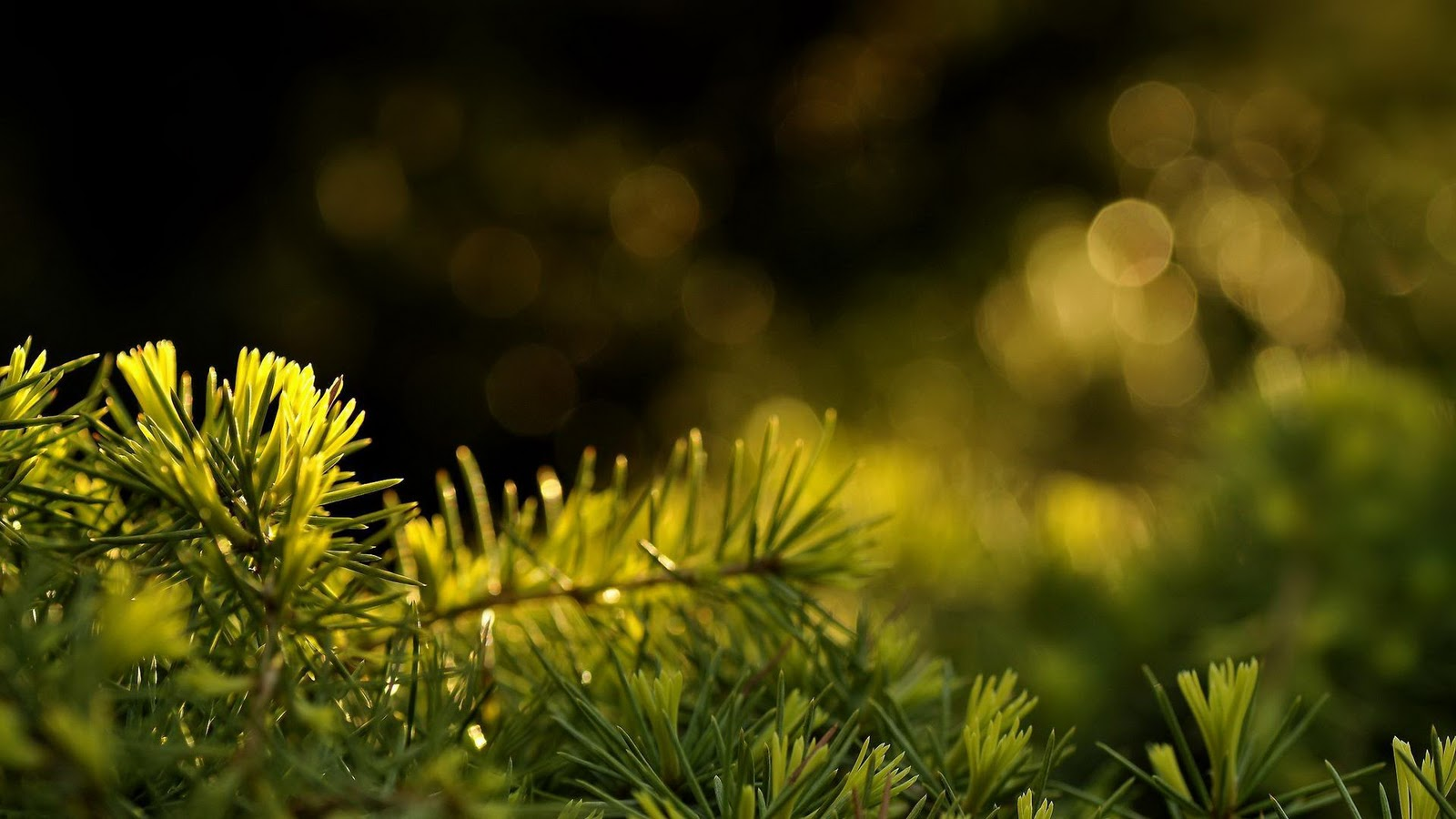 dew on a pine in the forest wallpaper 2012 download wallpapers 1600x900