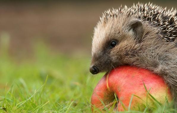 Wallpaper hedgehog apple grass beauty wallpapers animals   download 596x380