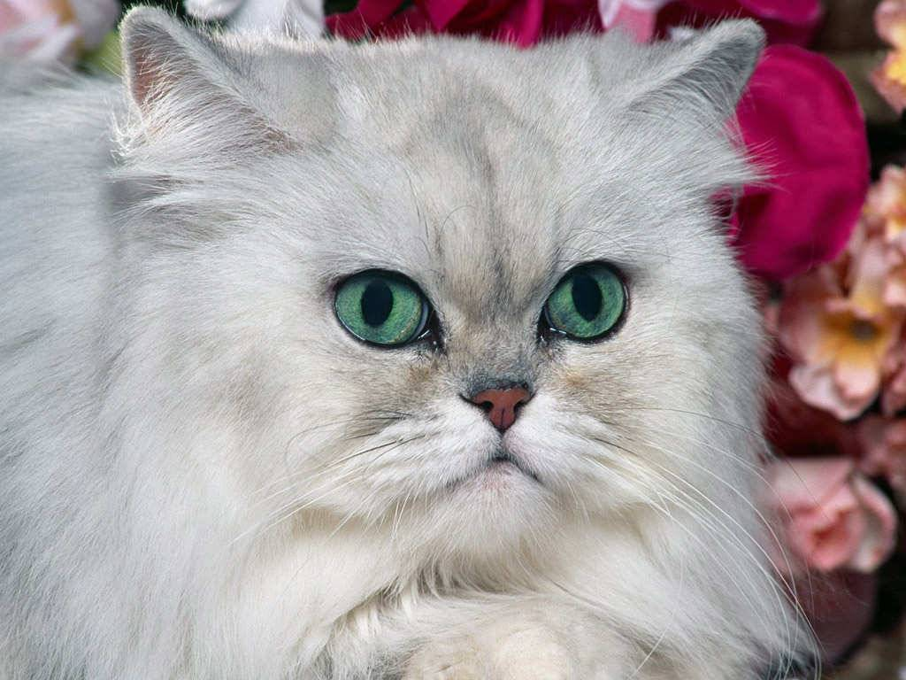 Big Cat With Green Eyes Photo Wallpaper   Cats Wallpaper 1024x768