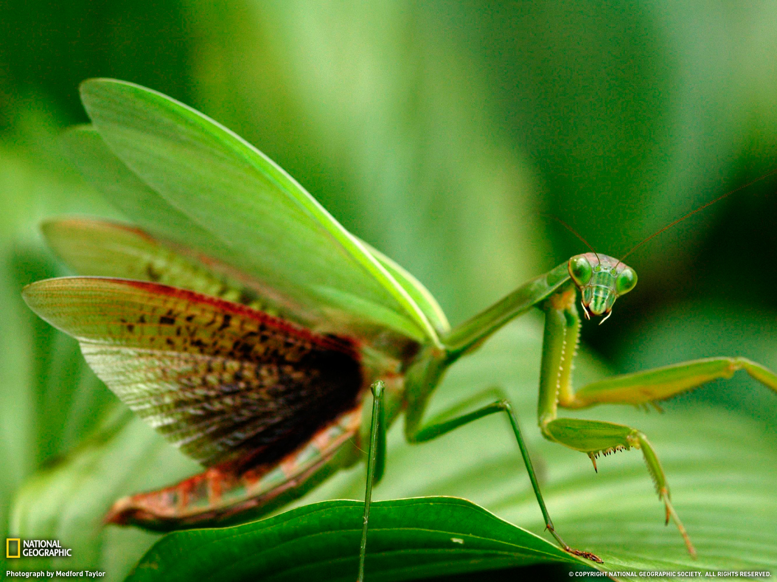 Praying Mantis Wallpapers collection   Praying Mantises Wallpaper 1600x1200