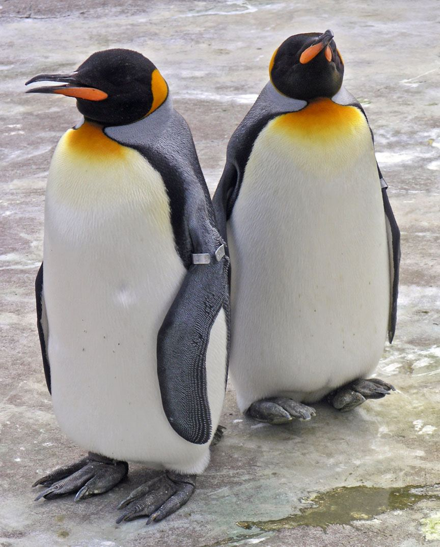 King Penguin Wallpapers   Animals Town 864x1075