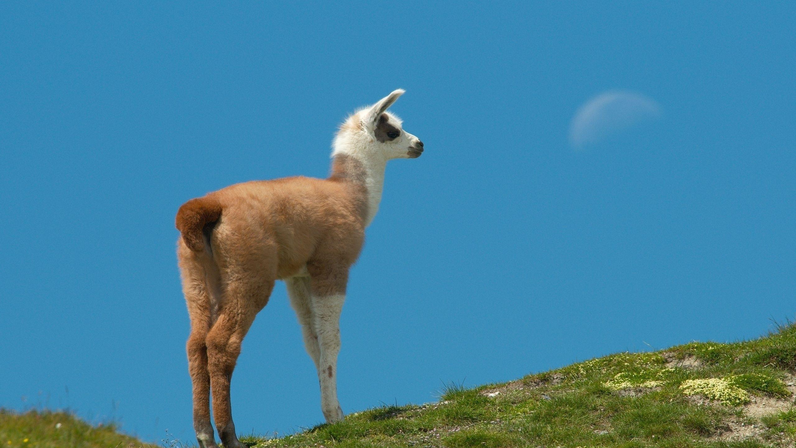 Llama wallpaper 31125 2560x1440