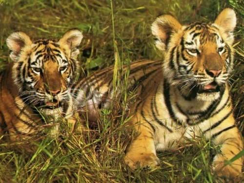 Tiger Cubs Screensaver Screensavers   Download Tiger Cubs 500x375