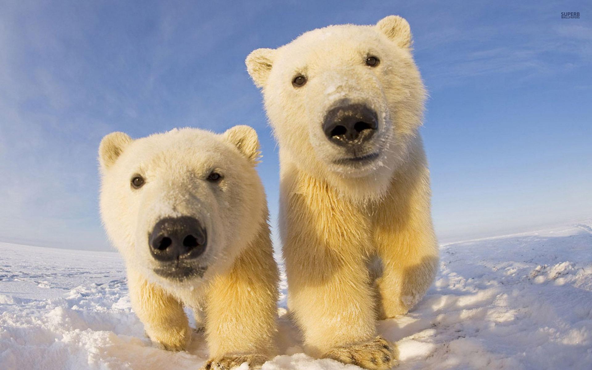 free download cute polar bear cubs wallpaper 1920x1200. Black Bedroom Furniture Sets. Home Design Ideas