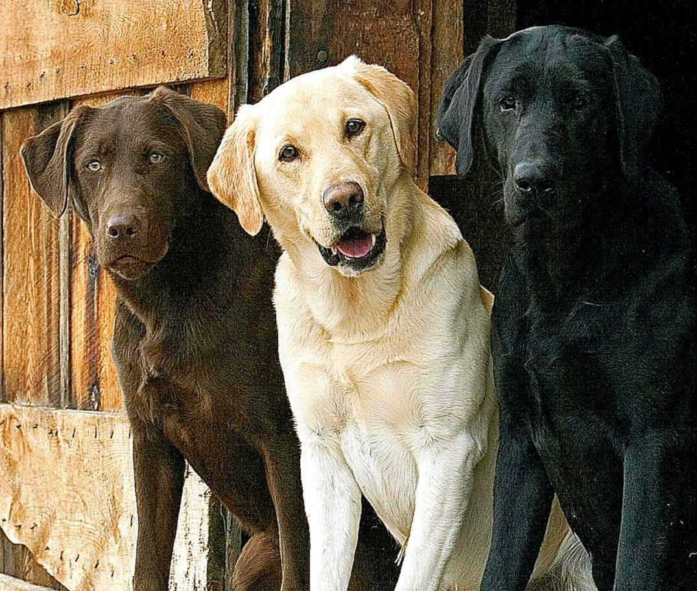 Black N Yellow Labrador Dog Wallpaper Desktop Photo Wallpapers 1075x911