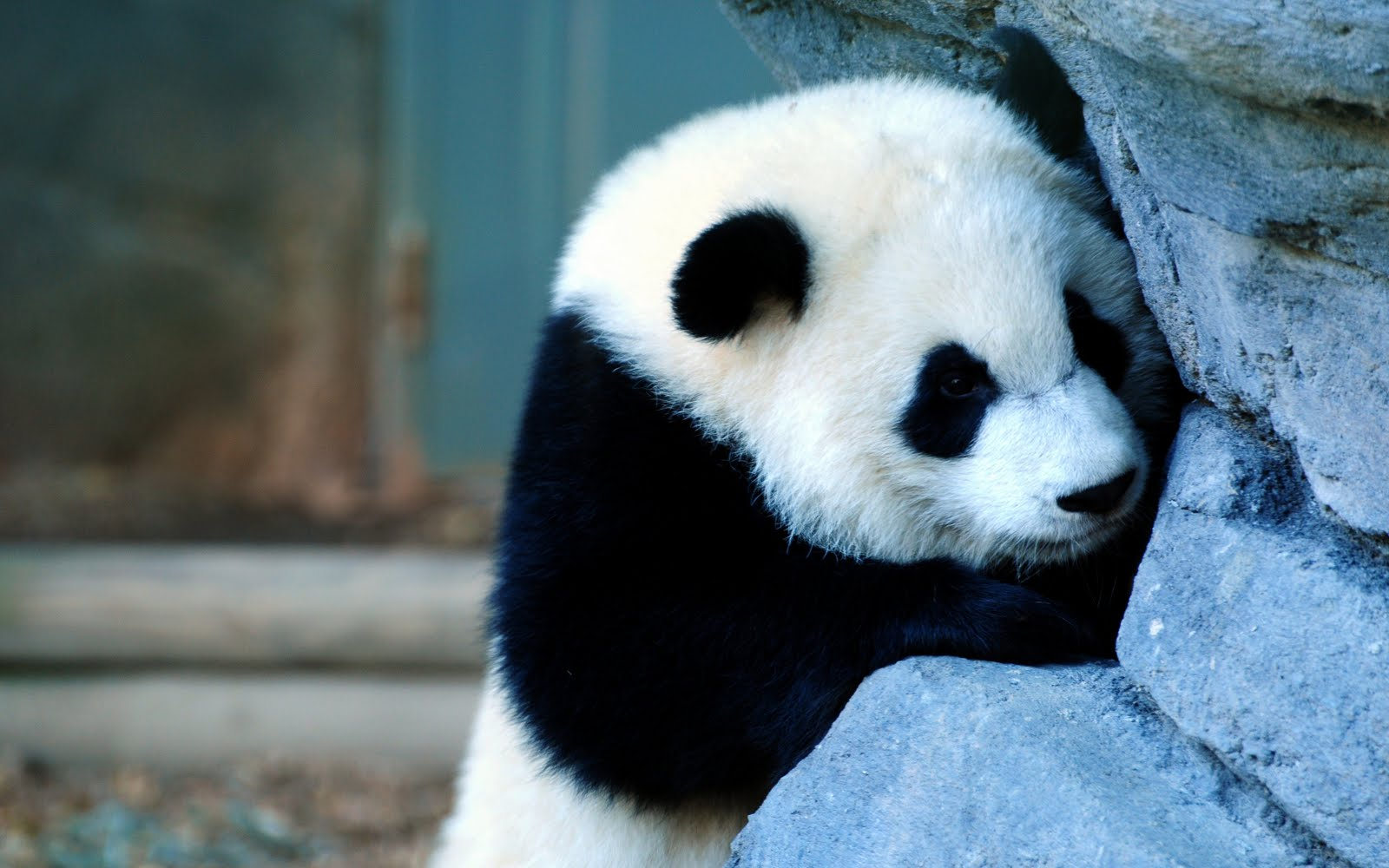 Baby Panda 3d wallpaper 3d wallpapers 1600x1000
