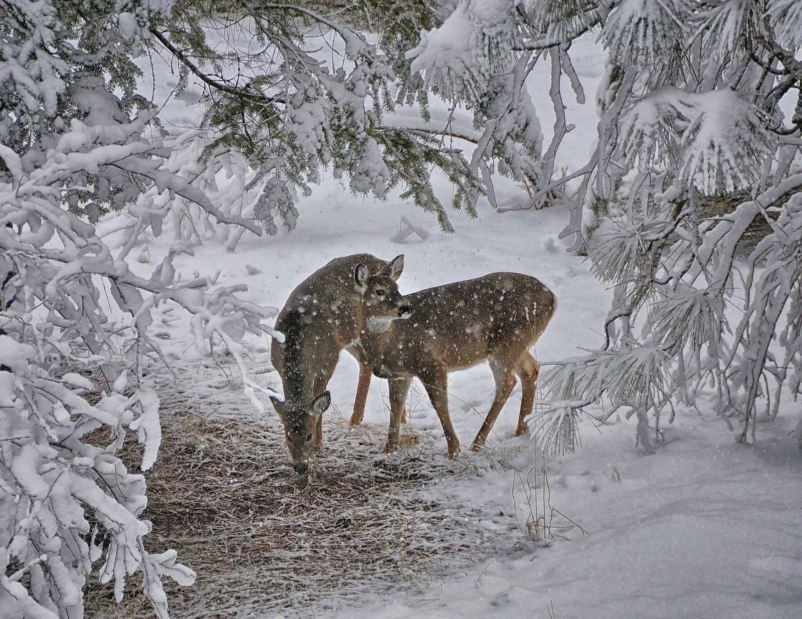 Deer wallpaper 1600x1235