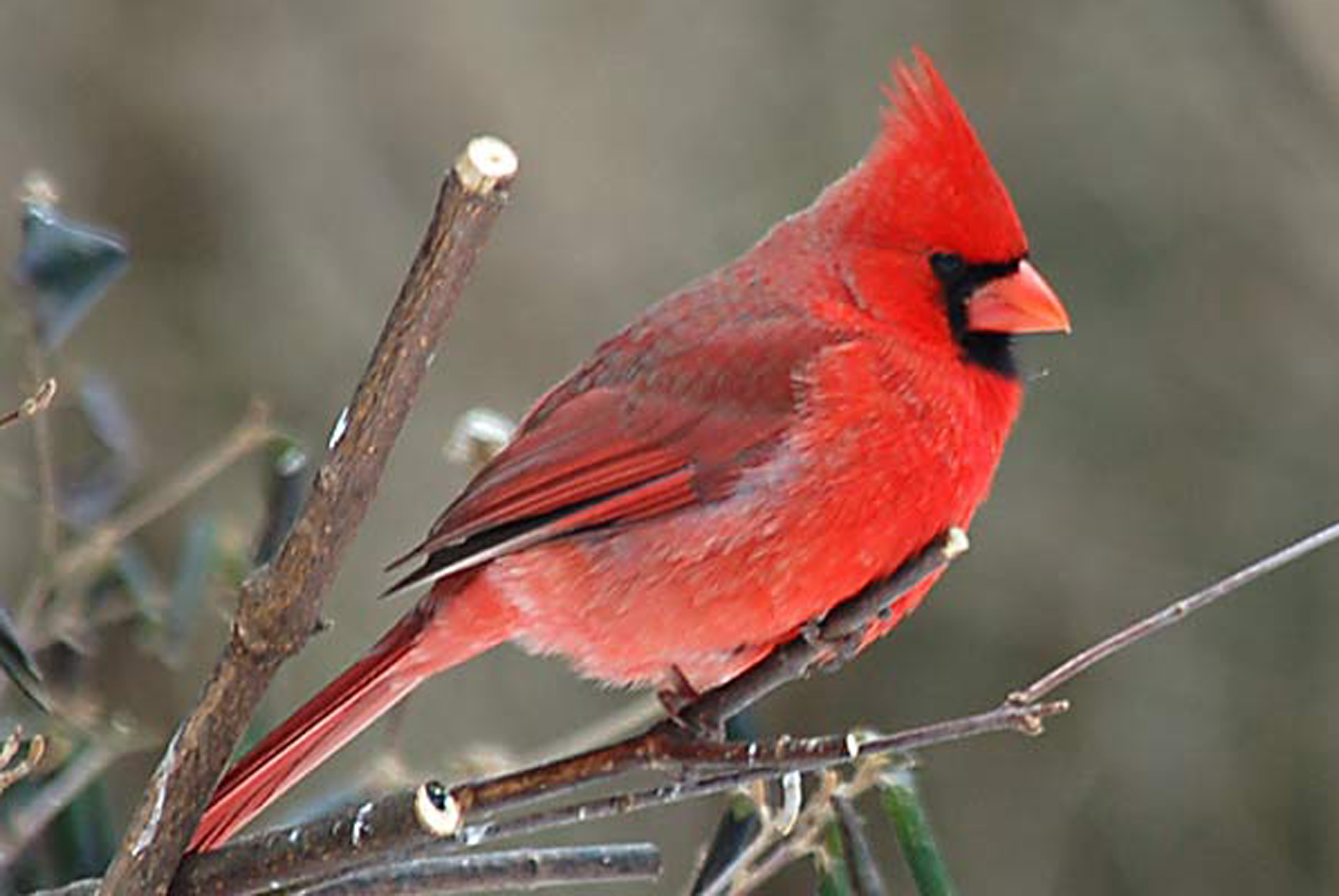 Birds Wallpaper Download For PC Birds Download Cardinal Bird 3872x2592