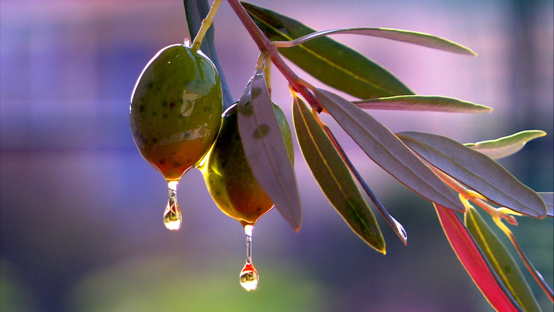 Olive Tree The Gift of the Goddess 1920x1080