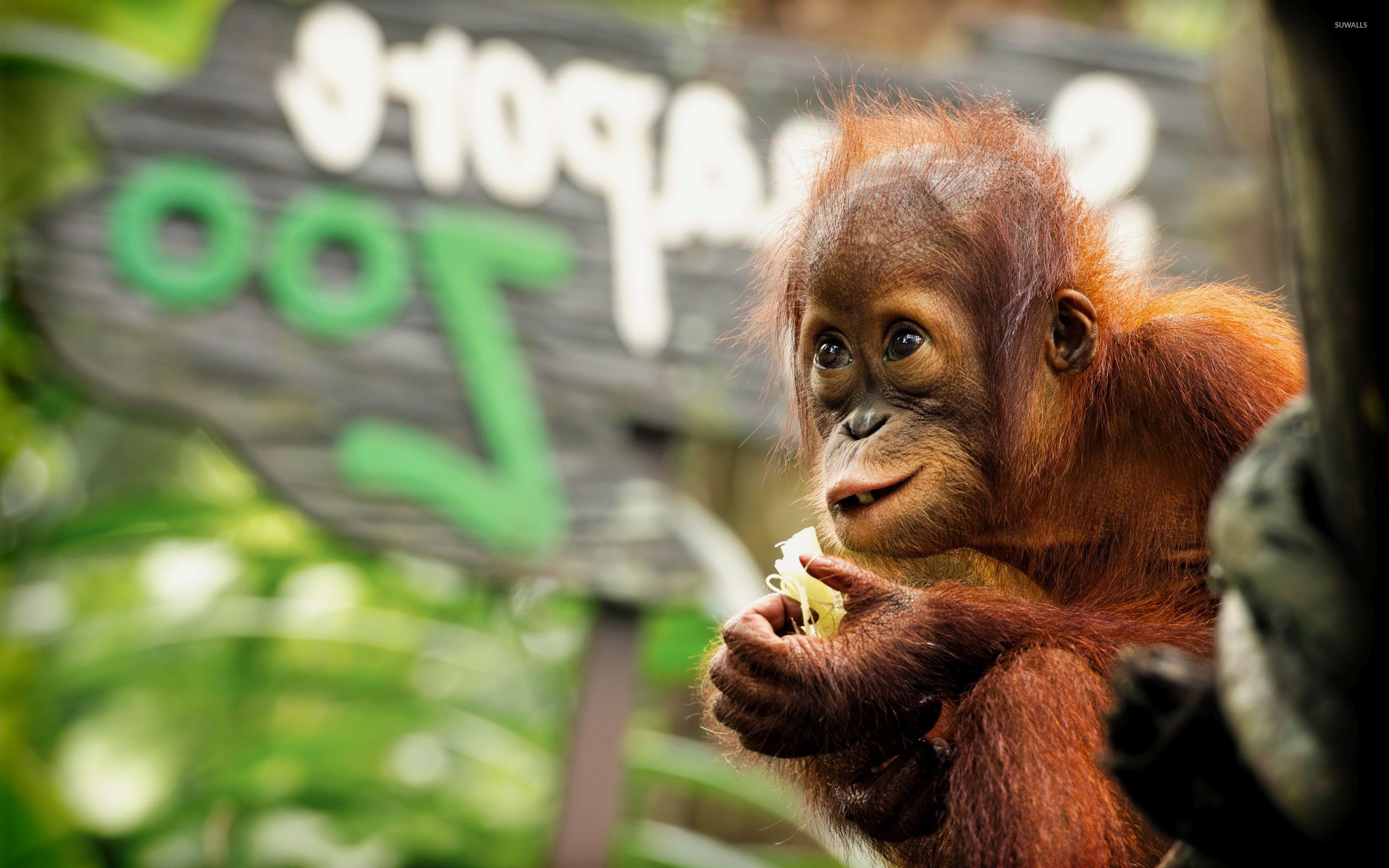 Baby Orangutan Wallpaper Wallpapersafari