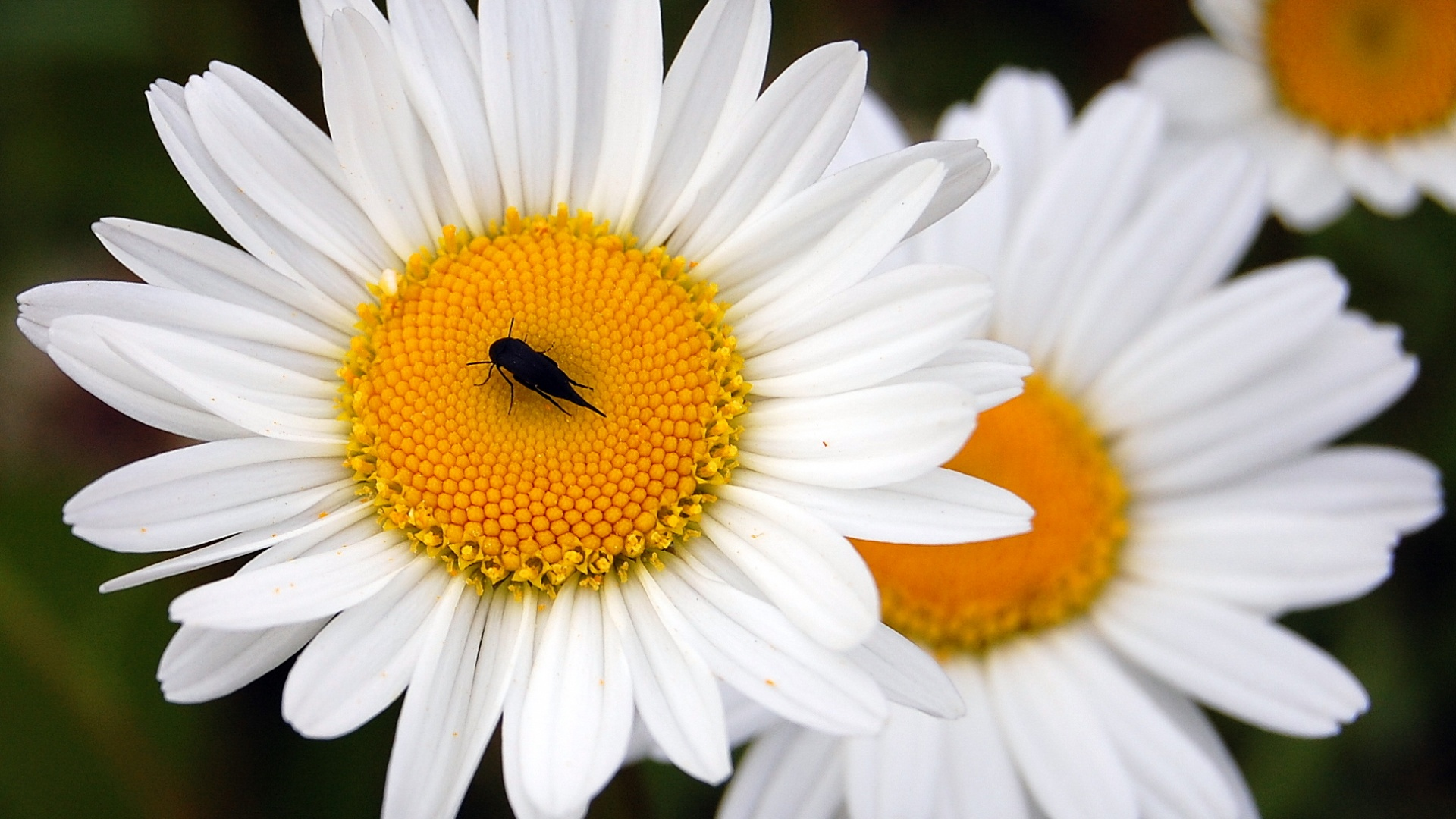 In the daisy wallpaper black beetle sits 1920x1080 Wallpapers 3d for 1920x1080