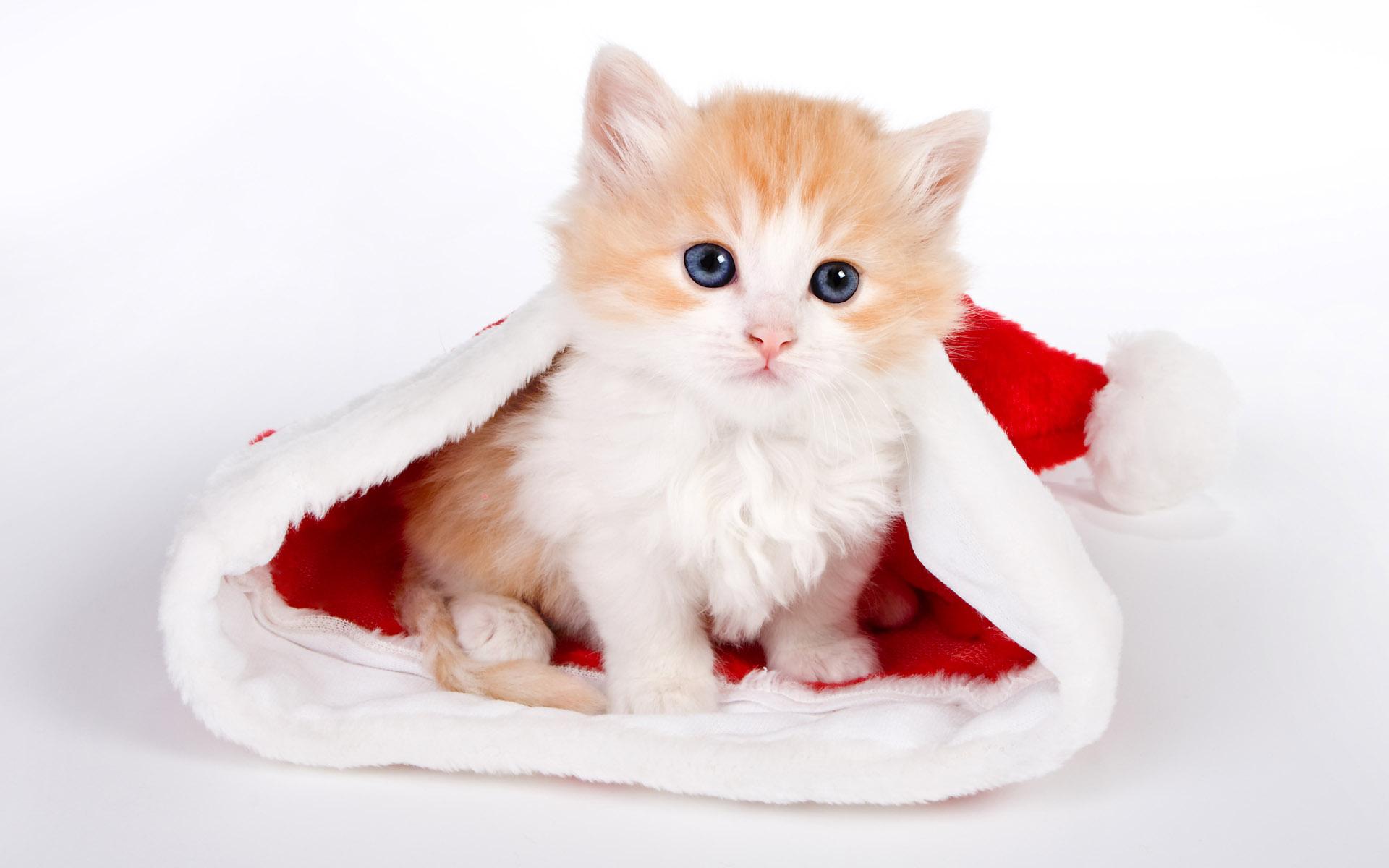 1920x1200 Cute cat in Santa hat desktop PC and Mac wallpaper 1920x1200