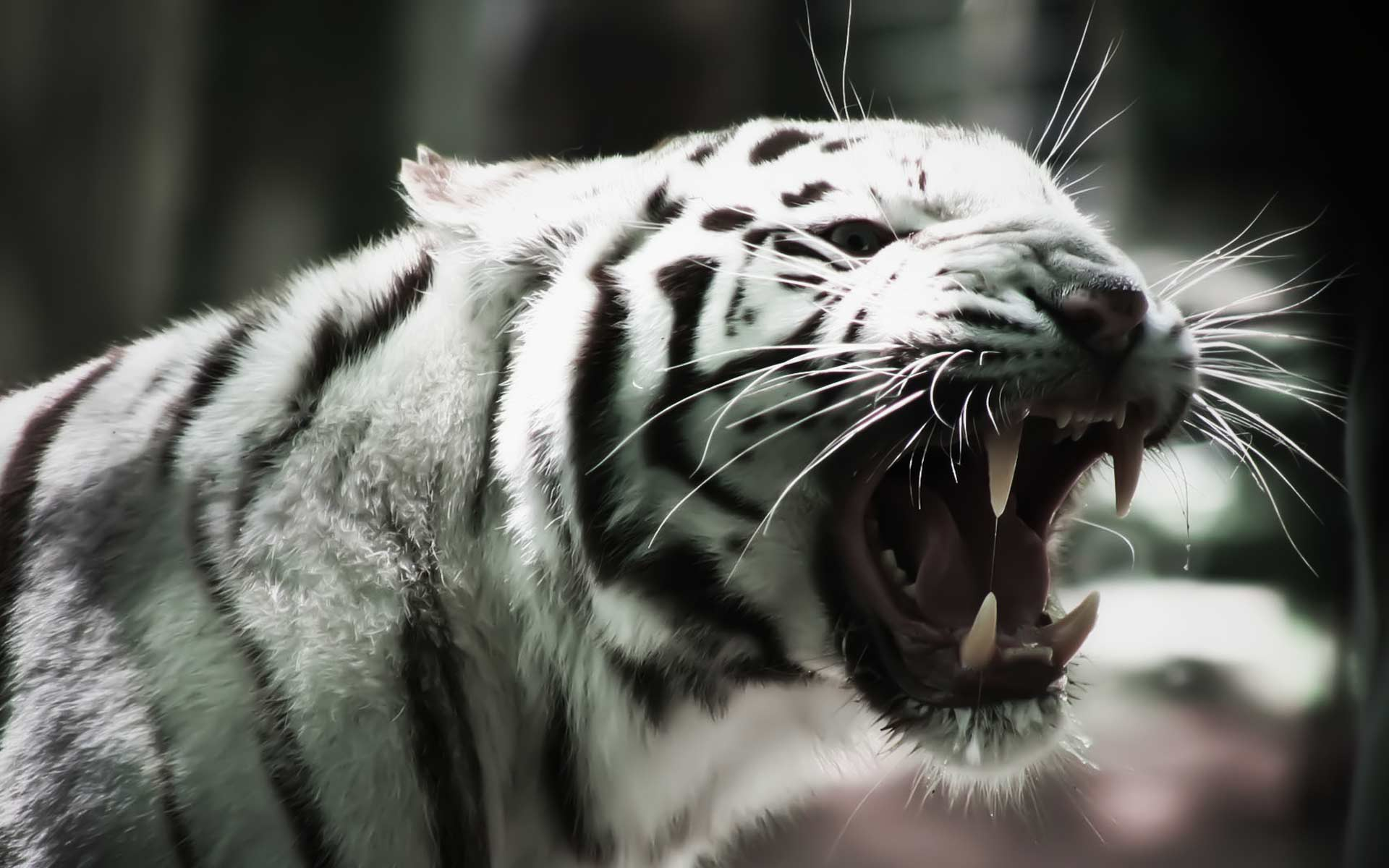 white tiger desktop wallpaper which is under the tiger wallpapers 1920x1200