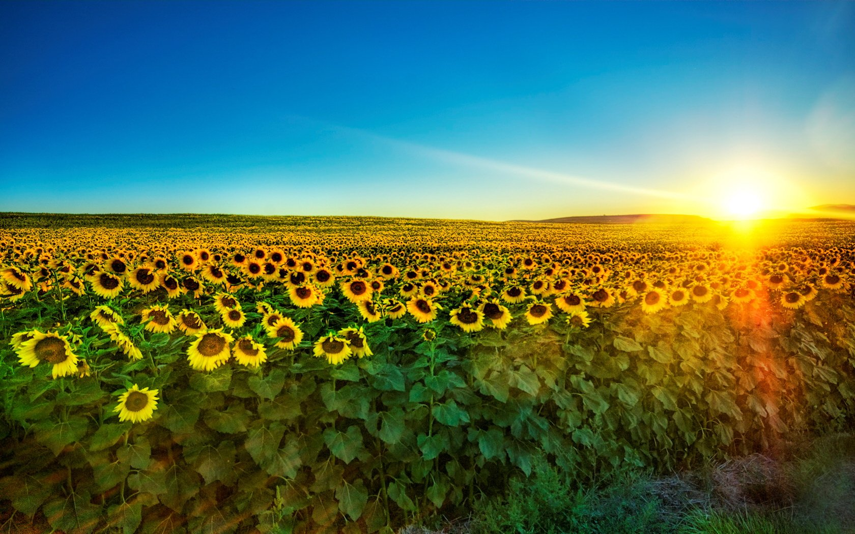 Description Nature Sunflower field is a hi res Wallpaper for pc 1680x1050