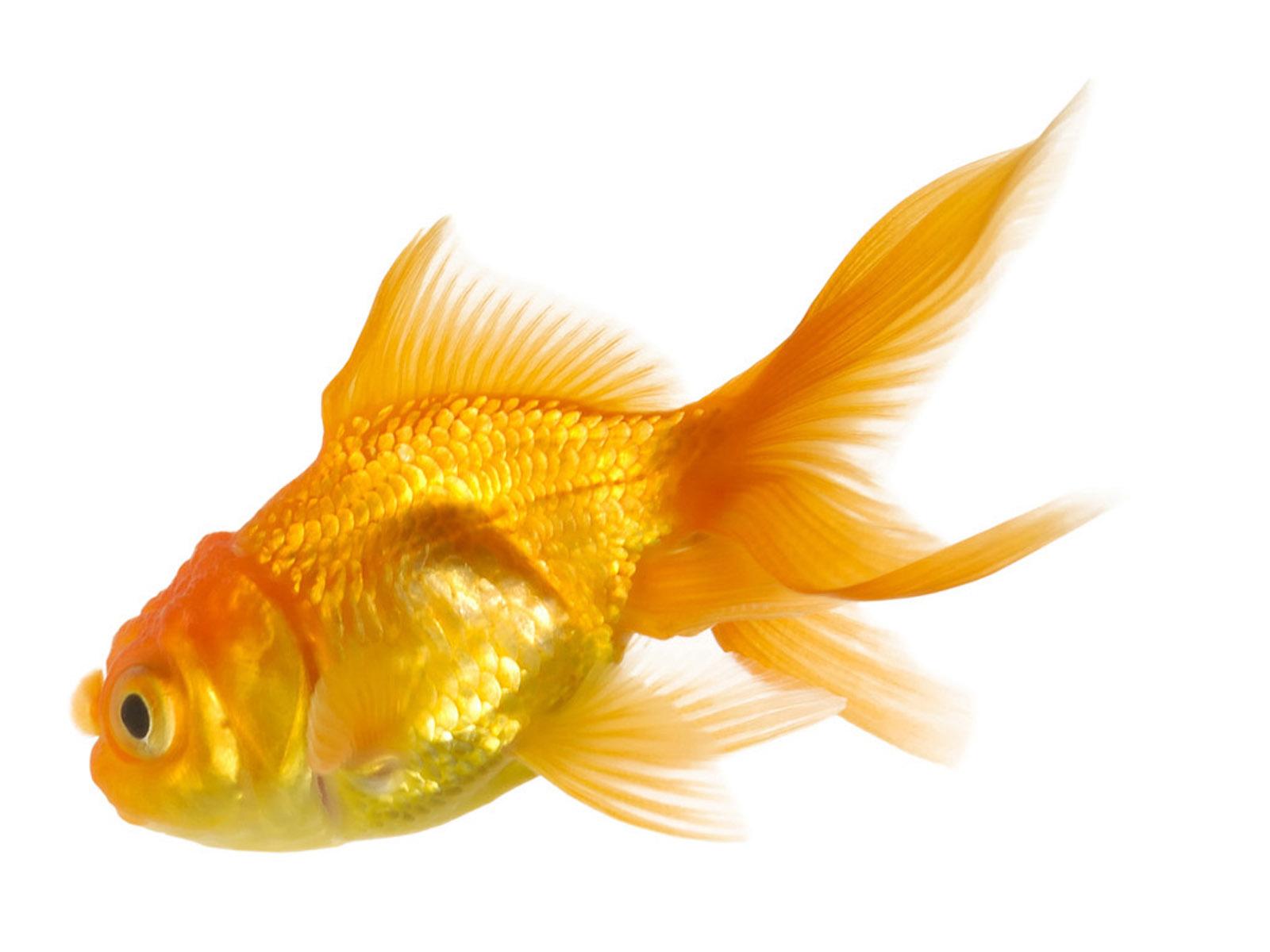 Goldfish Wallpapers 2013 Wallpaper 1600x1200