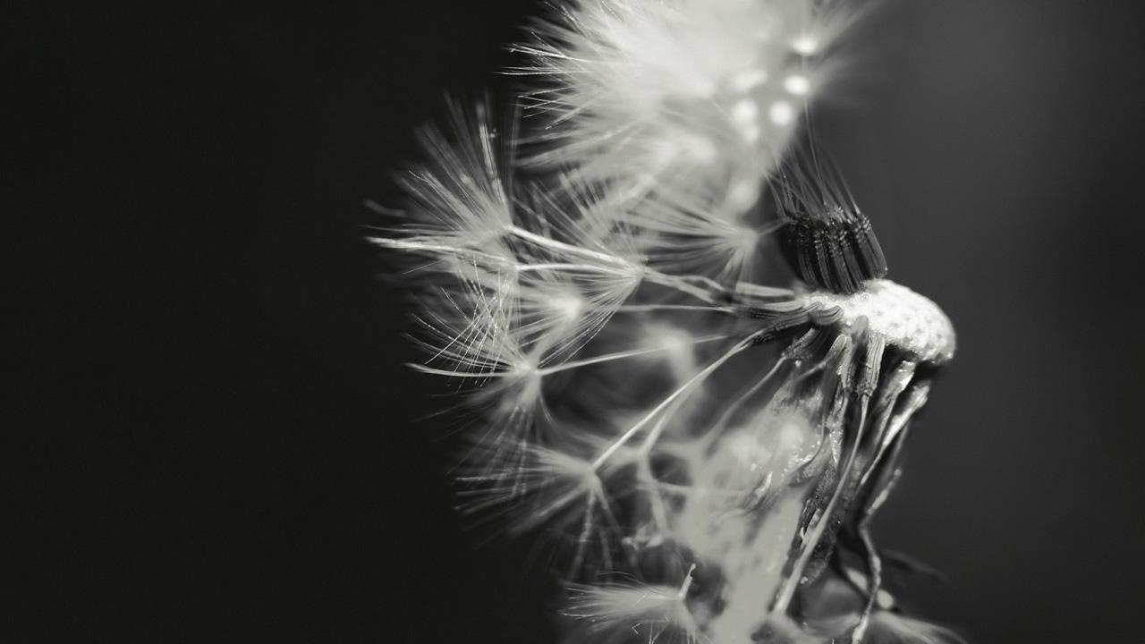 Dandelion Black And White Wallpaper Dandelion black and white 1280x720