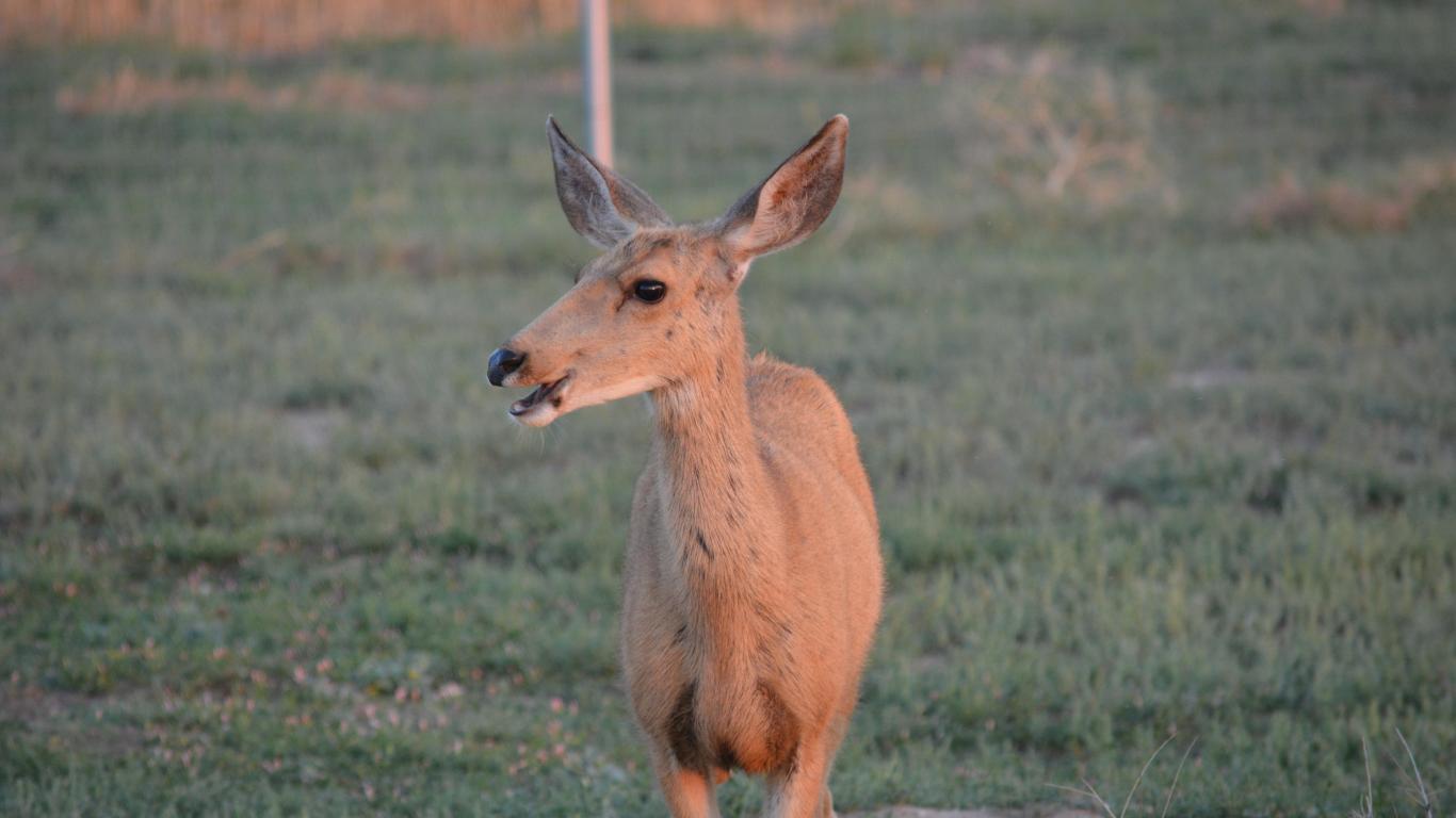 mule deer wallpaper for desktop wallpapersafari