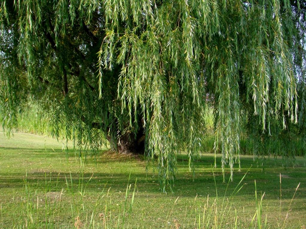 Weeping Willow Tree Wallpaper Mrjacksfarmcomdnnshadetrees 1024x768