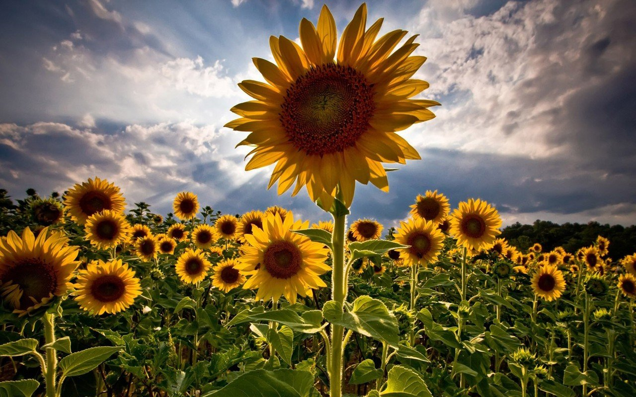Sunflower field Widescreen Wallpaper   4157 1280x800