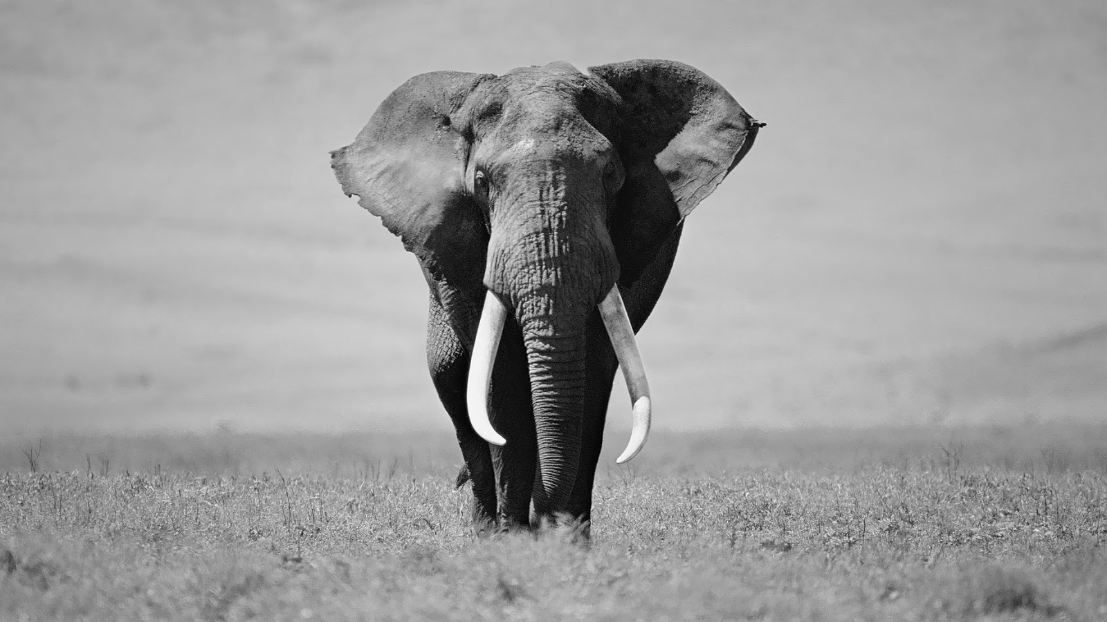 Black and white elephant wallpaper HD Animals Wallpapers 1600x900