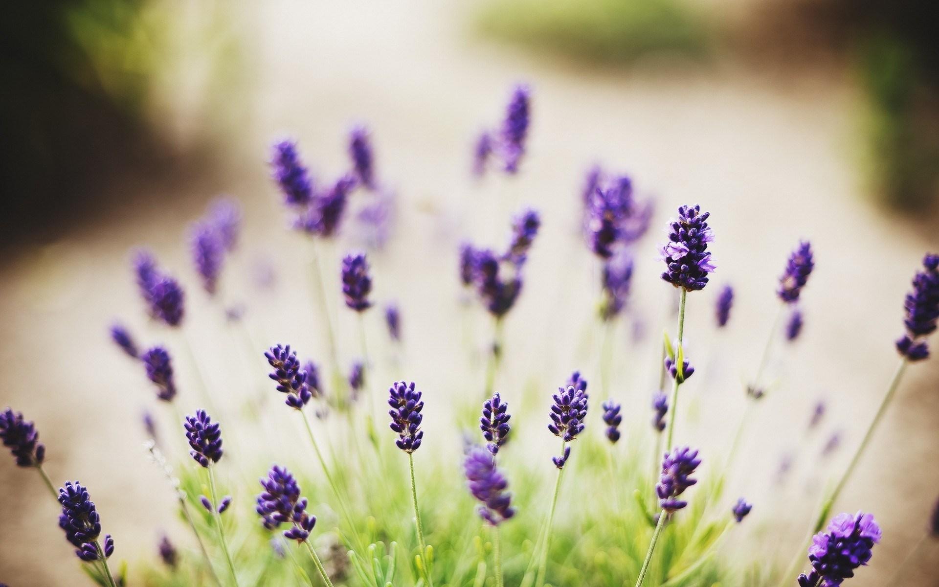 Lavender Flowers Desktop Backgrounds   Wallpaper High Definition 1920x1200