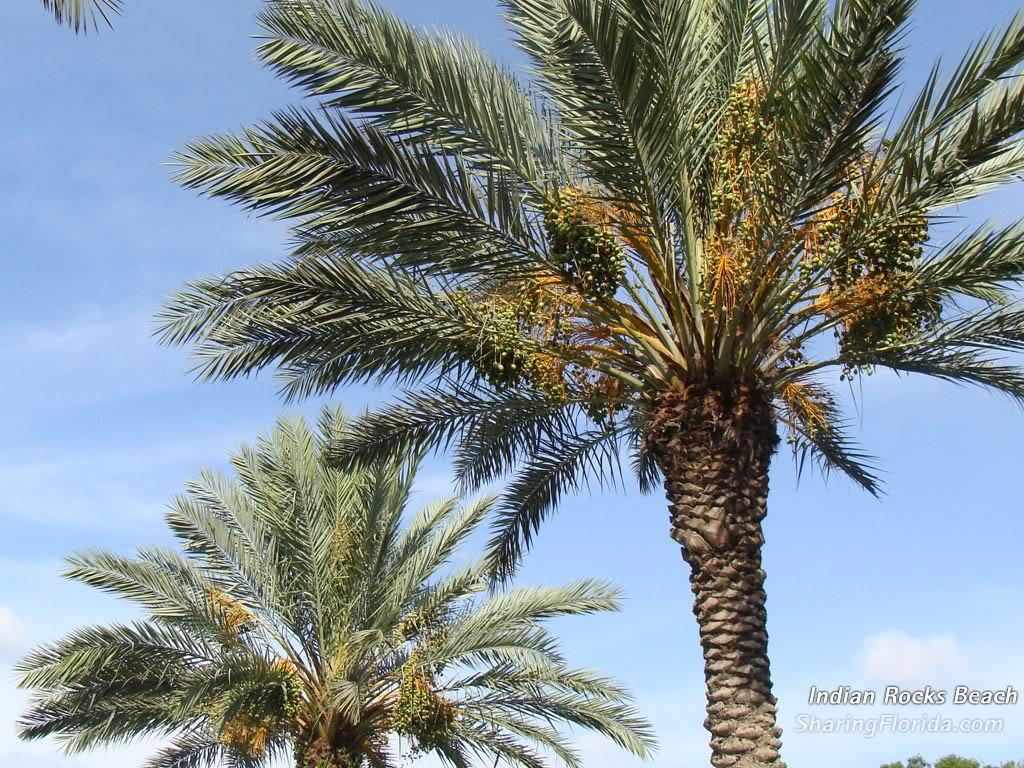 Large Florida Palm Tree Wallpaper   Florida Desktop Wallpaper 1024x768