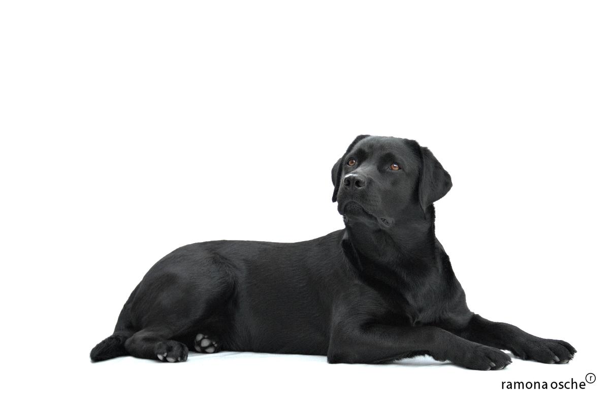 Black Labrador Wallpaper - WallpaperSafari