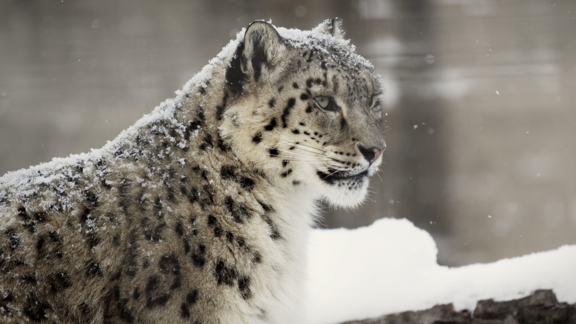 Free Download Snow Leopard Wallpapers Hd Pictures One Hd