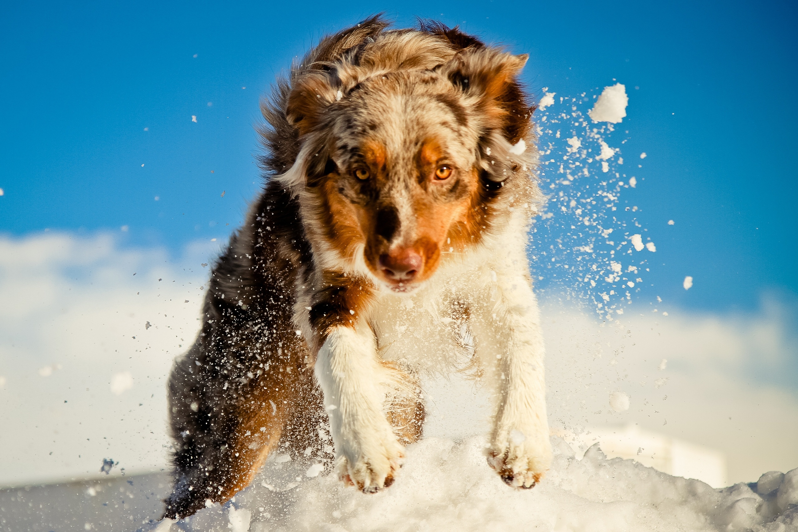 Australian Shepherd in snow wallpapers and images   wallpapers 2560x1707