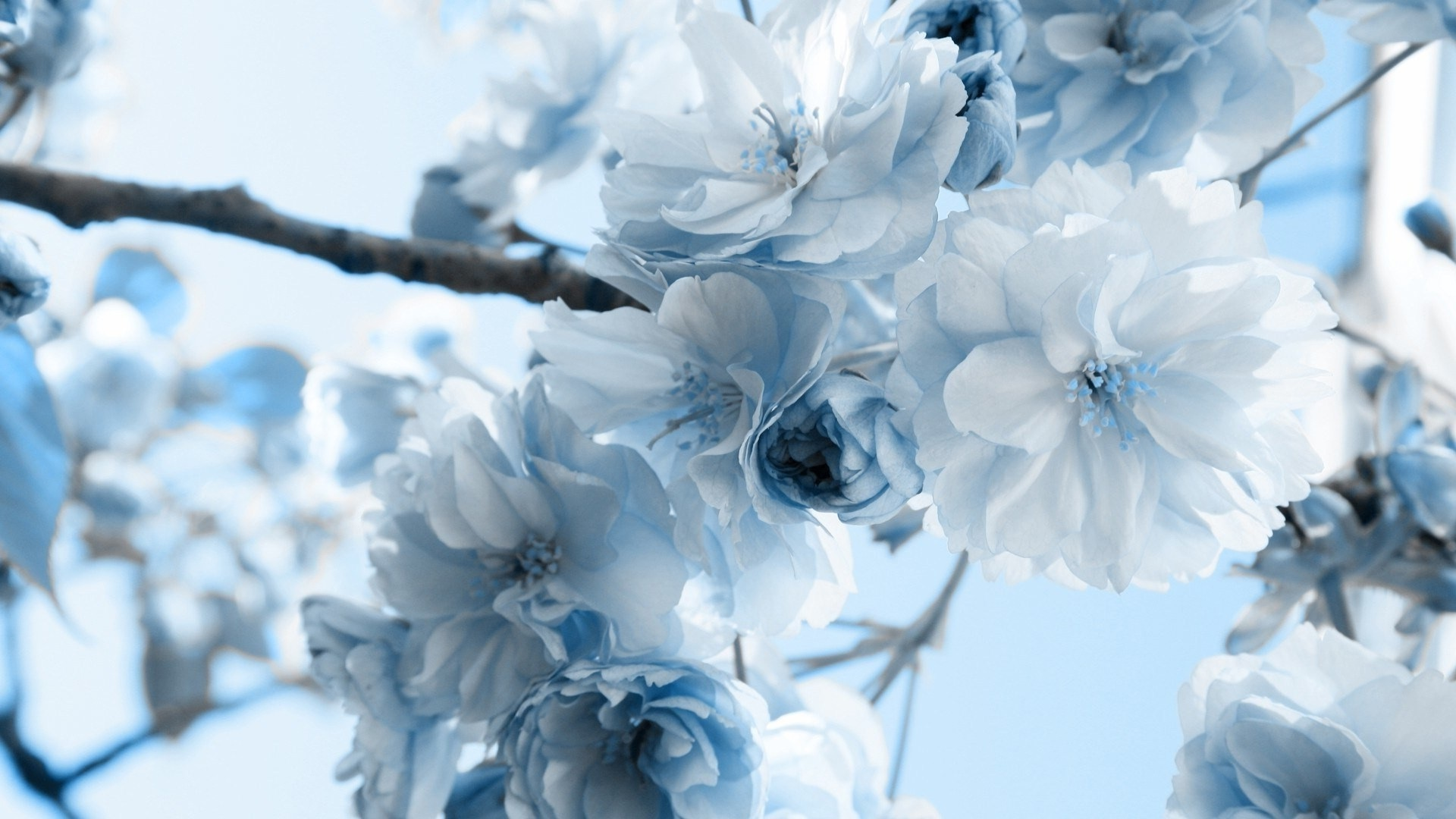 Blue Flowers HD Wallpapers Backgrounds 1920x1080