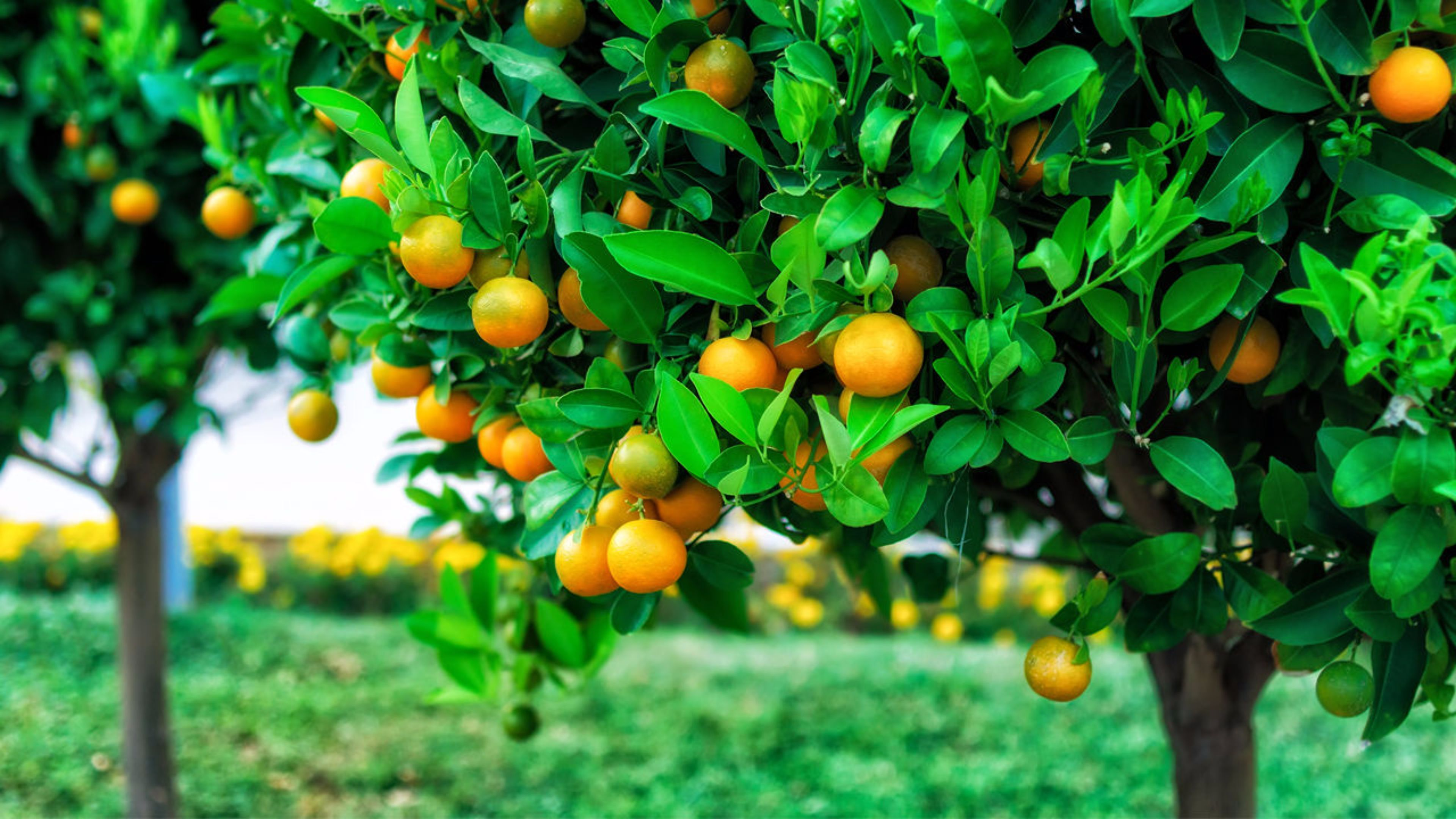 Fruit Tree Wallpapers   Top Fruit Tree Backgrounds 3840x2160