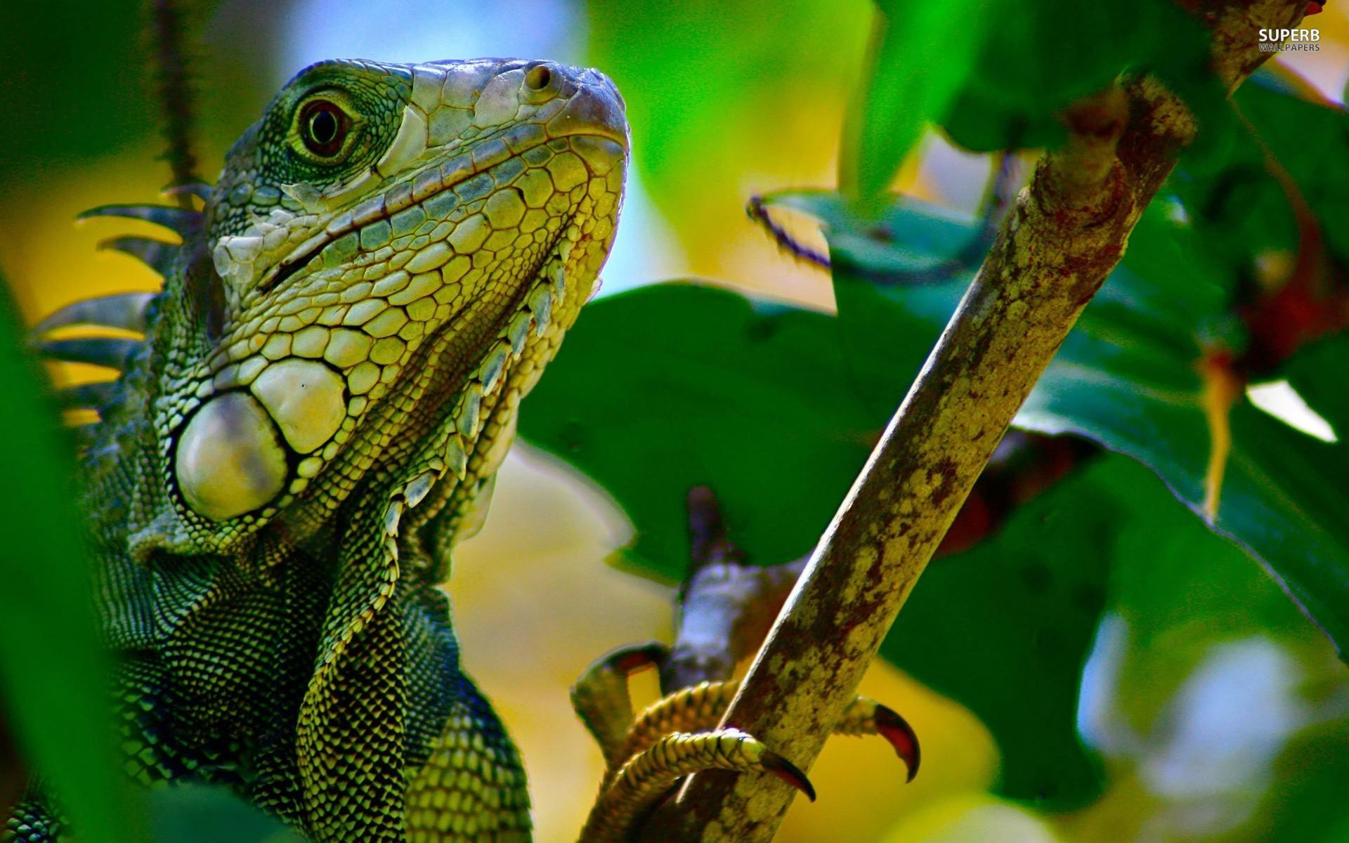 H D Reptiles Green Iguana Wallpaper...