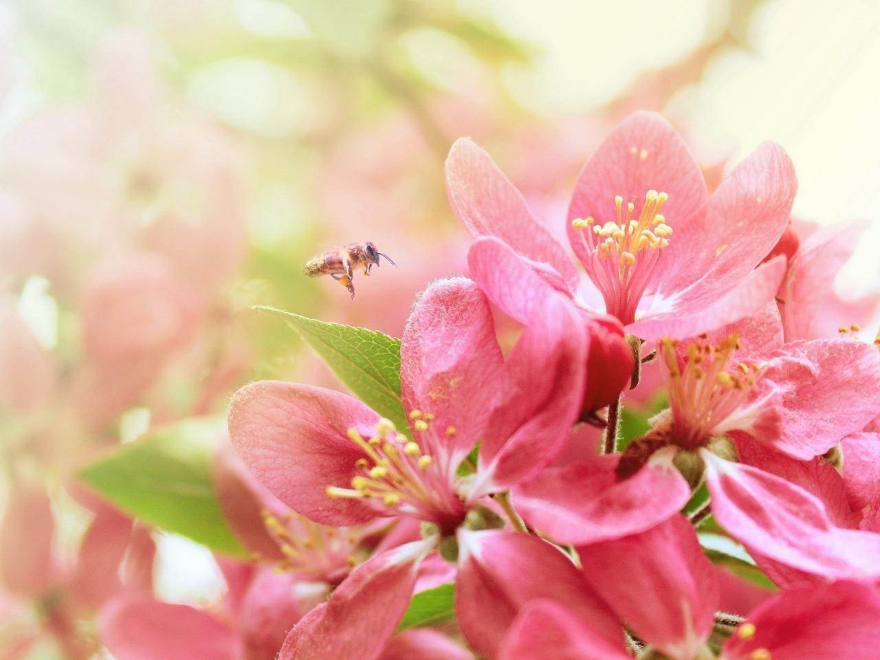 Bee Pink Heaven Flowers Nature Background Wallpapers 1280x960