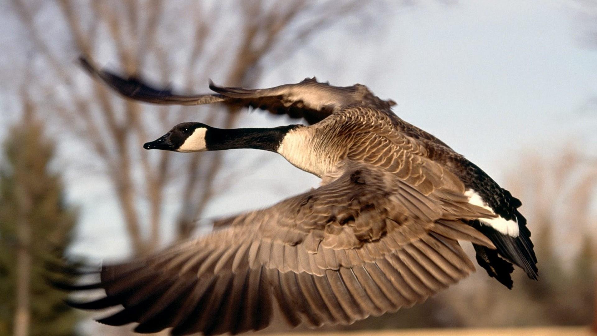 canada flight canadian goose geese 1920x1080 wallpaper Wallpaper 1920x1080