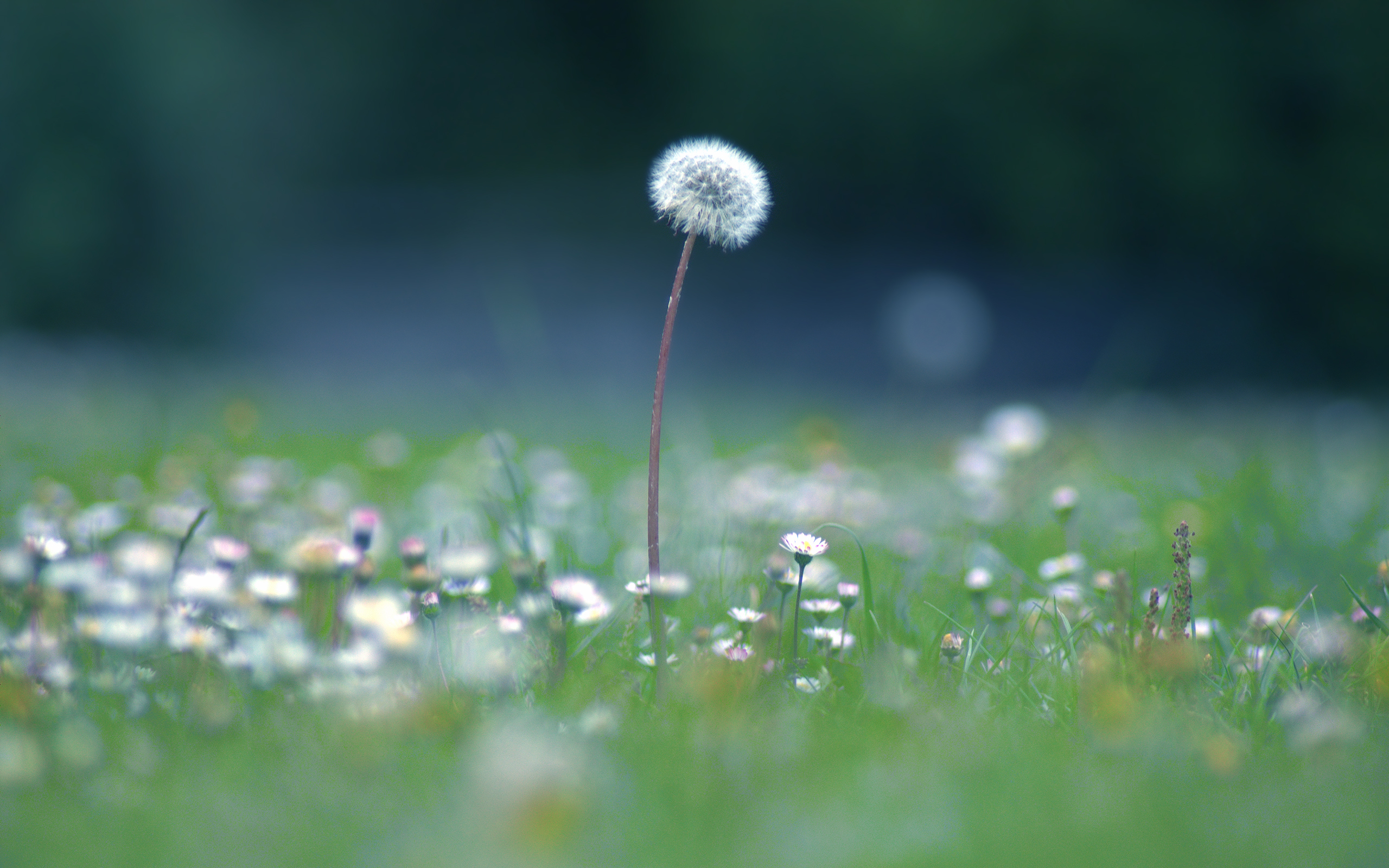 dandelion July wallpapers and images   wallpapers pictures photos 2560x1600