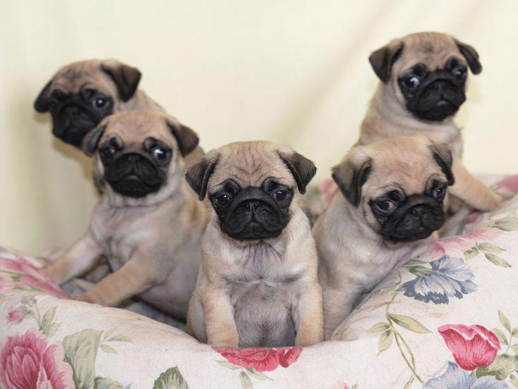Pug Wallpaper Screensaver Background Cute Pug Puppies PUG 736x552