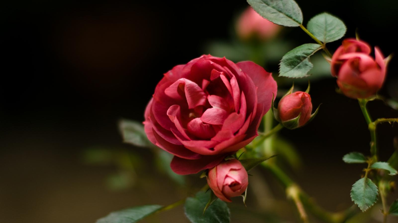 Hd wallpaper rose - Hd Wallpaper Rose Flower Beautiful Rose Flowers Hd Wallpaper 1600x900 Pixel Popular Hd