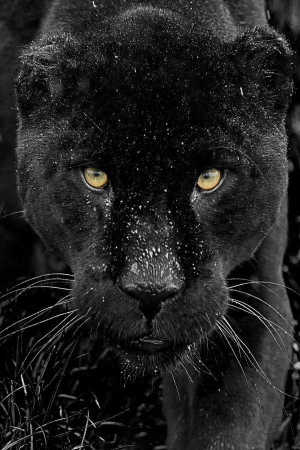 Free Download Panther Black Panthers Cats Black Jaguar Animals 600x900 For Your Desktop Mobile Tablet Explore 14 Black Jaguar Hd Mobile Wallpaper Black Jaguar Hd Mobile Wallpaper Black Jaguar