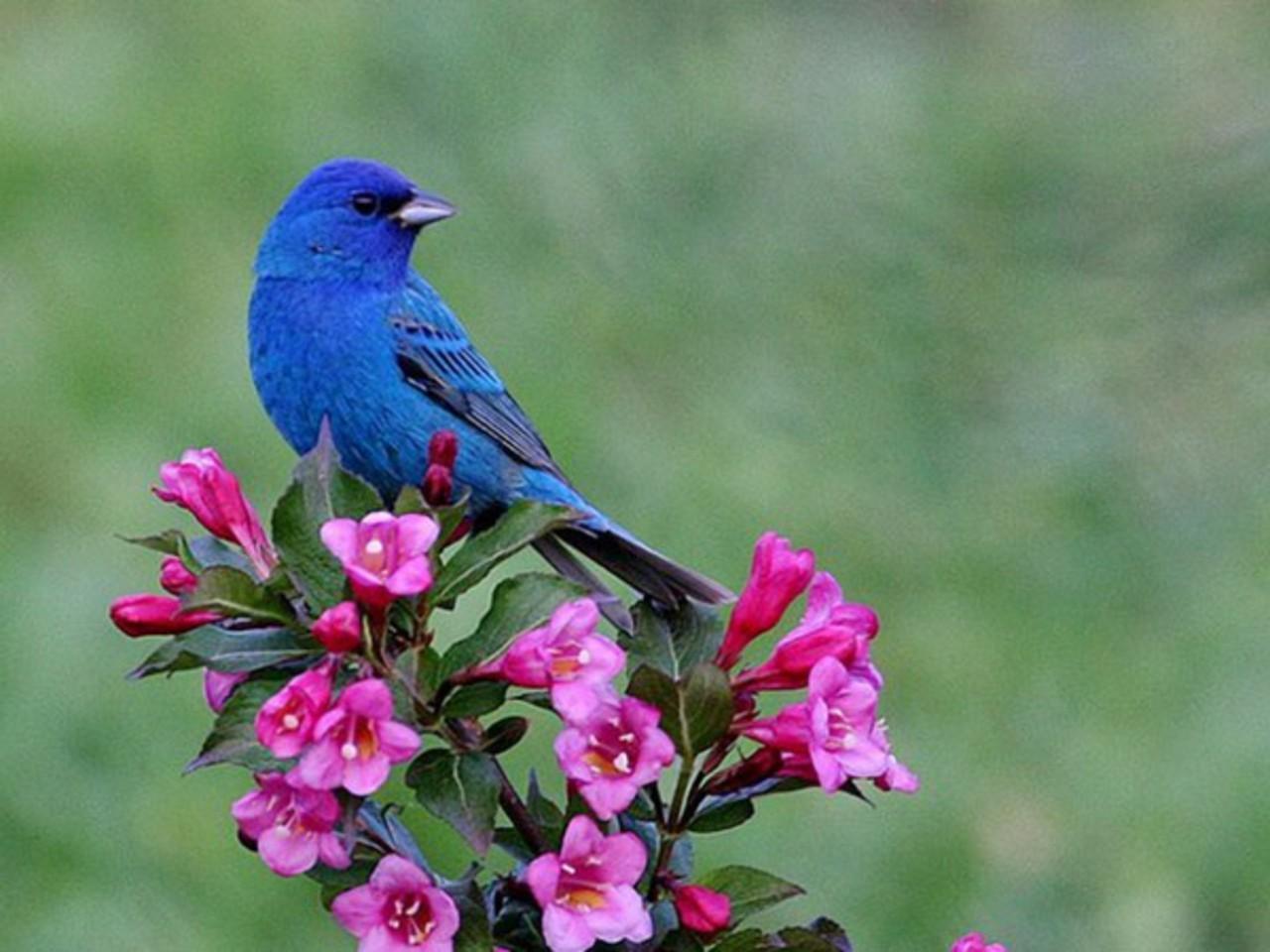 Spring Bird Beautiful Wallpaper Desktop Wallpapers Gallery 1280x960